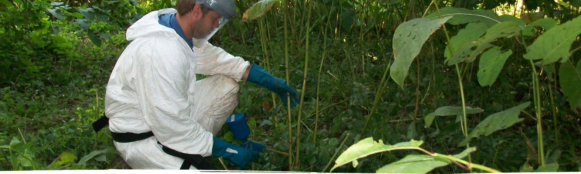 Japanese knotweed injection in Chester