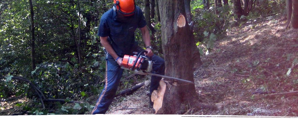 Tree felling in Cheshire using a chainsaw